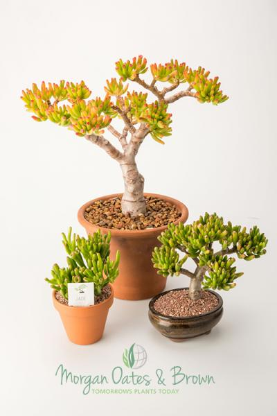 Crassula Ovata Little Jade Tree