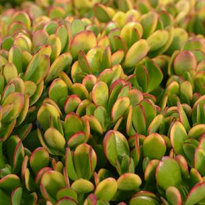Crassula Ovata Hummel's Sunset