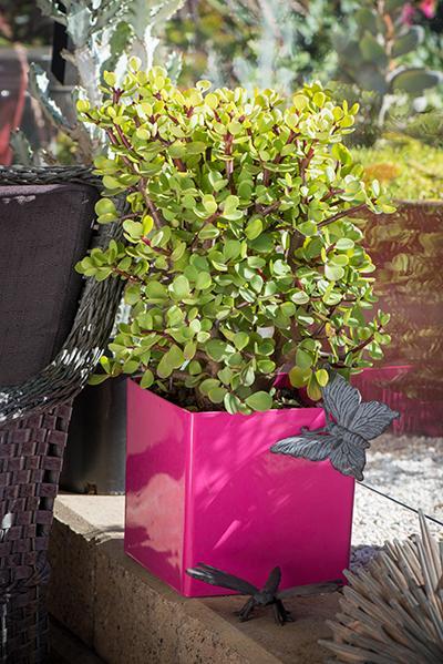 Portulacaria Afra Large Leaf