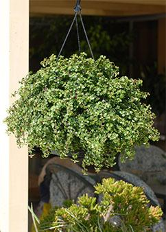 Hanging Baskets