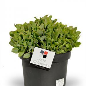 Crassula Arborescens Undulatifolia